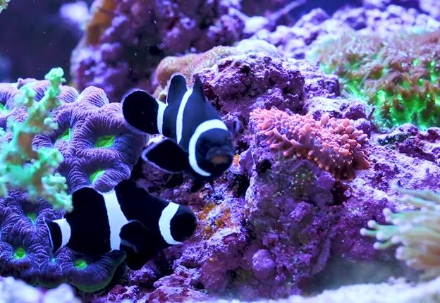 Black clownfish with eggs
