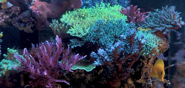 SPS themed reef tank