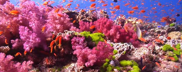 natural reef with anthias