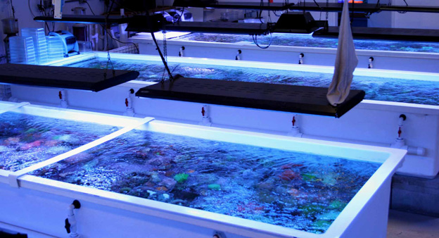 Coral holding and grow out vats