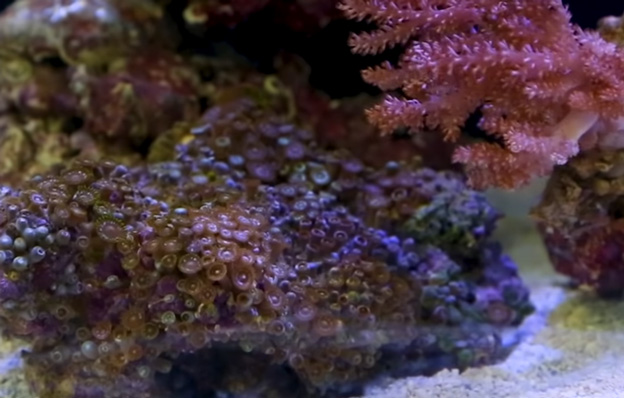 Irritated zoanthid polyps that are closed