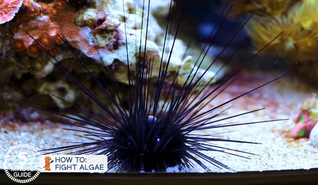 Long Spine Sea Urchin
