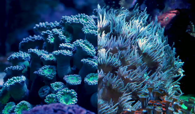 Side by Side Duncan Coral