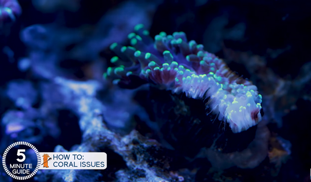 Euphyllia coral tissue damage
