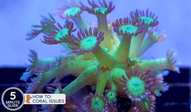 Stretching Goniopora coral