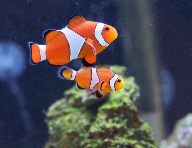 A pair of Oscellaris Clownfish