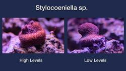 Stylocoeniella