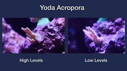 Yoda Acropora