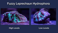 Fuzzy Lephrachaun Hydnophora