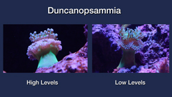 Duncanopsammia