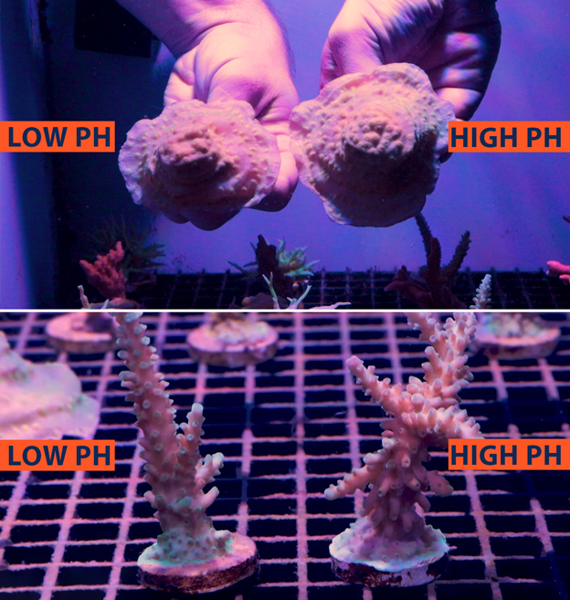 Coral fragment comparison in a High vs Low ph environment