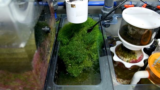 Triton sump with healthy refugium full of chaetomorpha