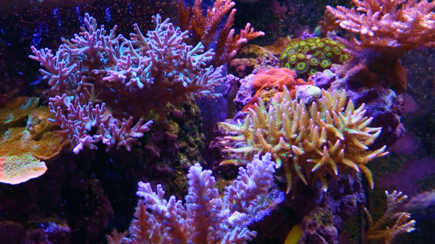 SPS coral in a reef tank